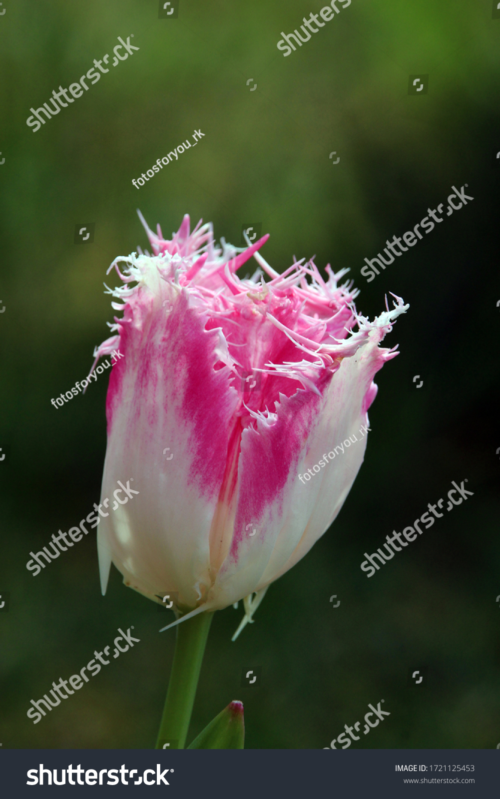 Pink white tulips as a close-up against a great background