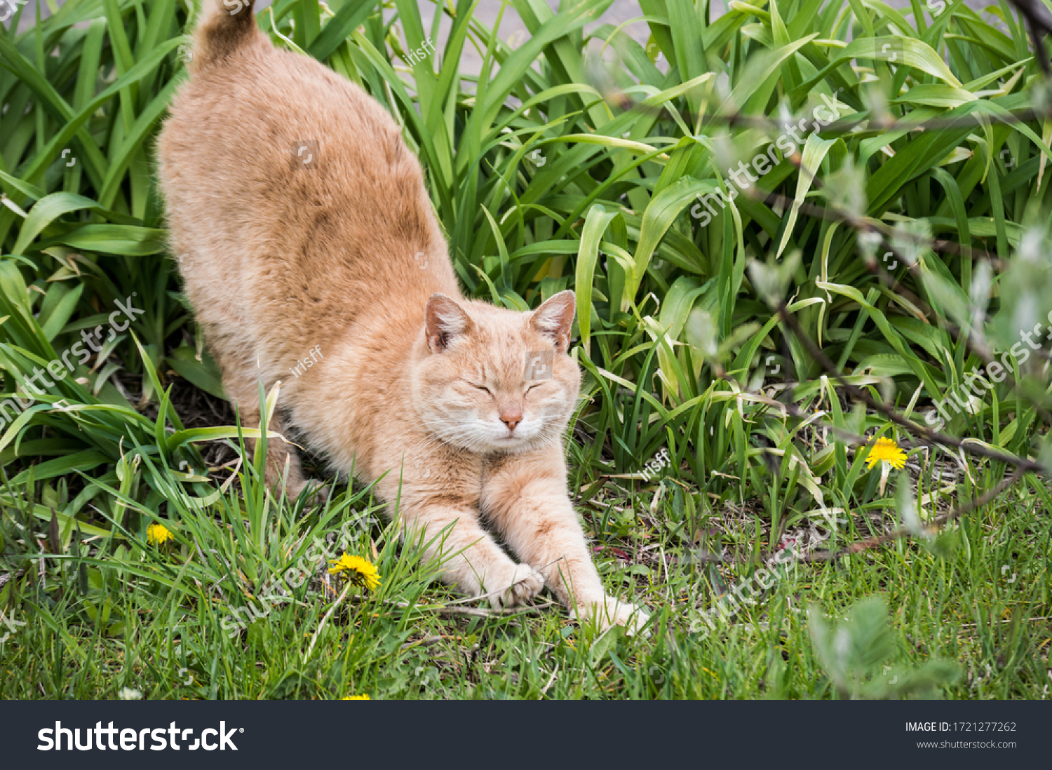 stock-photo-red-cat-stretches-in-the-gre