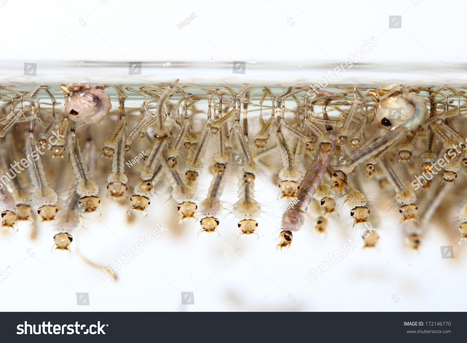 how to get mosquito larvae