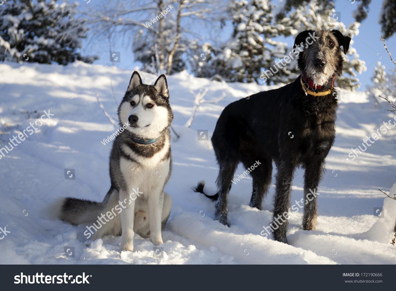 Siberian Husky - Dog Breed Standards