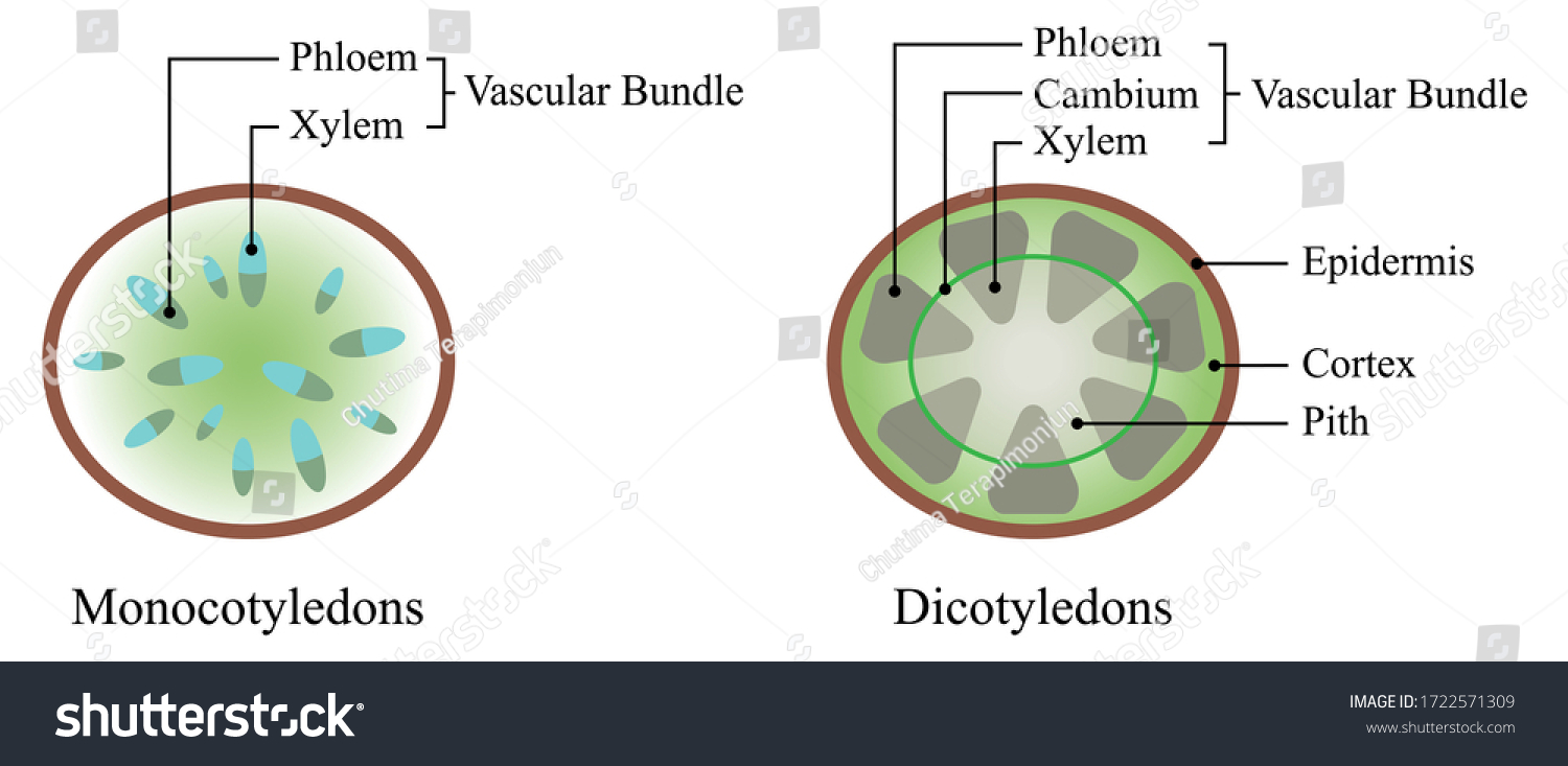 Illustration of biology. The xylem and the phloem make up the vascular tissue of a plant and transports water, sugars, and other important substances around a plant.