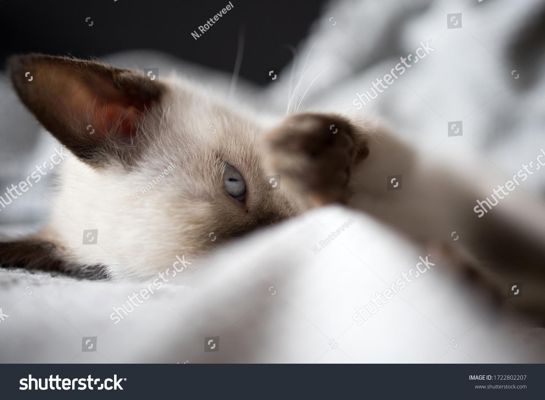 stock-photo-closeup-of-siamese-kitten-hi