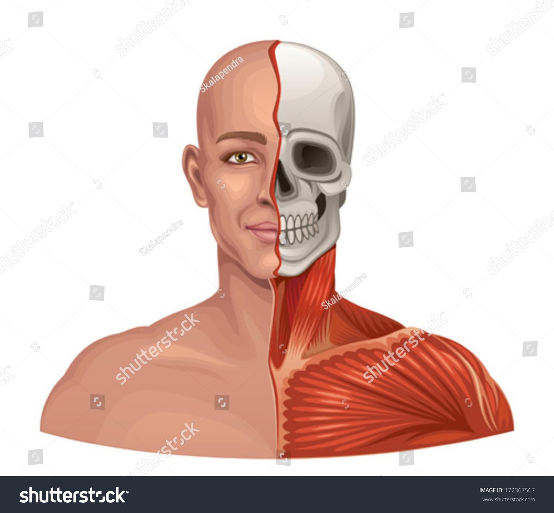 Human Anatomy Facial Muscles Skull Stock Vector (Royalty Free ...