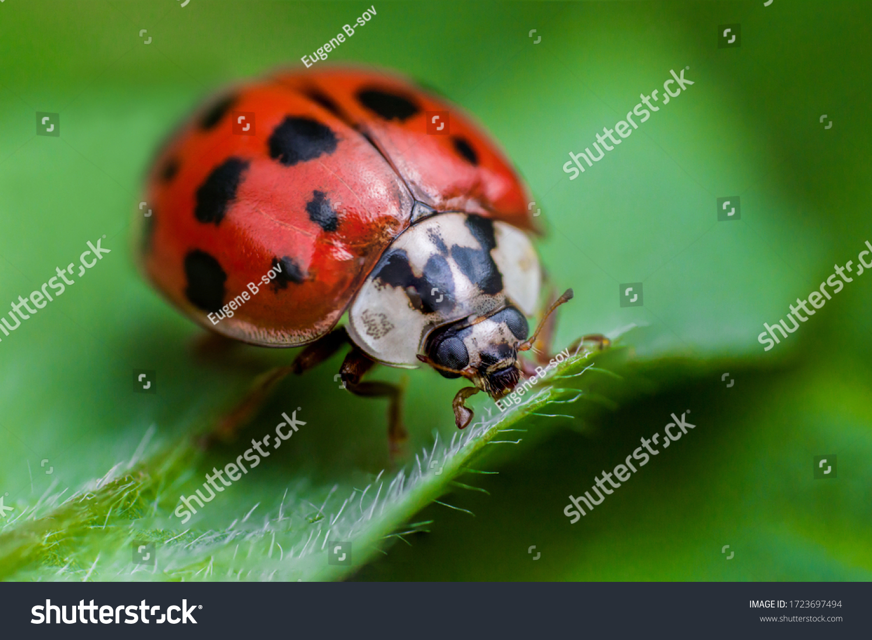 Ladybug with black eyes in macro. Super macro photo of insects and bugs. Ladybug on green leaf. #1723697494