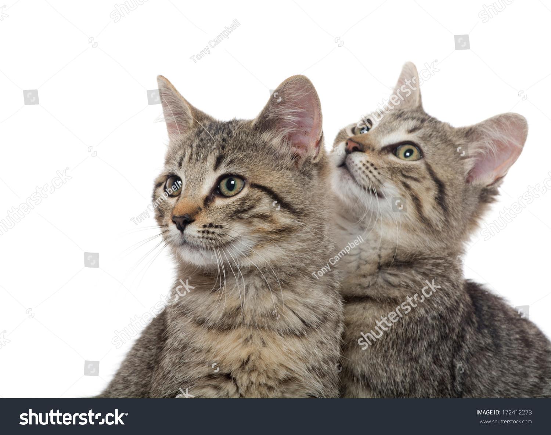 Two Cute Tabby American Shorthair Kittens Stock