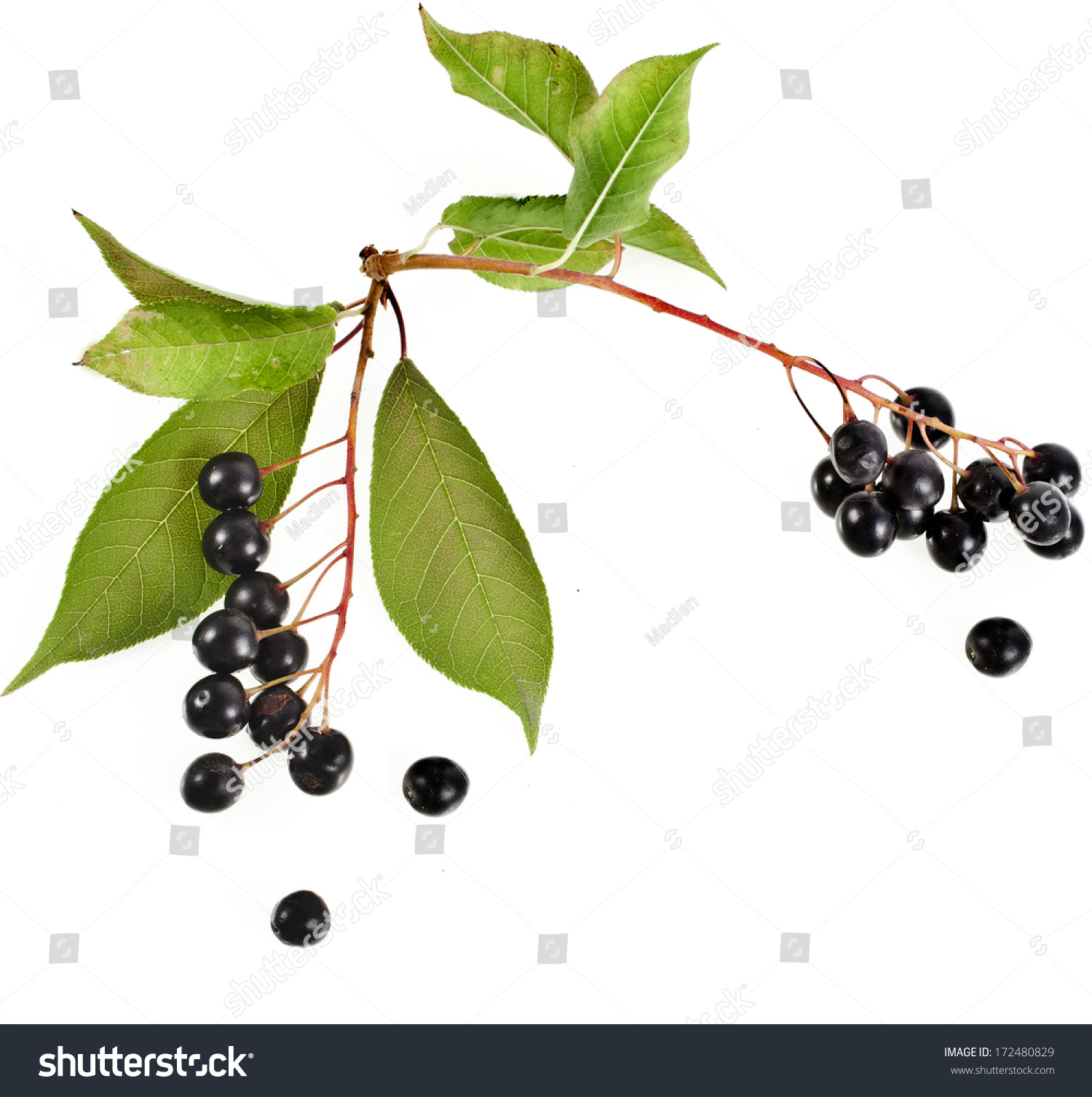 Branch Birdcherry Tree Prunus Padus Isolated Stock Photo