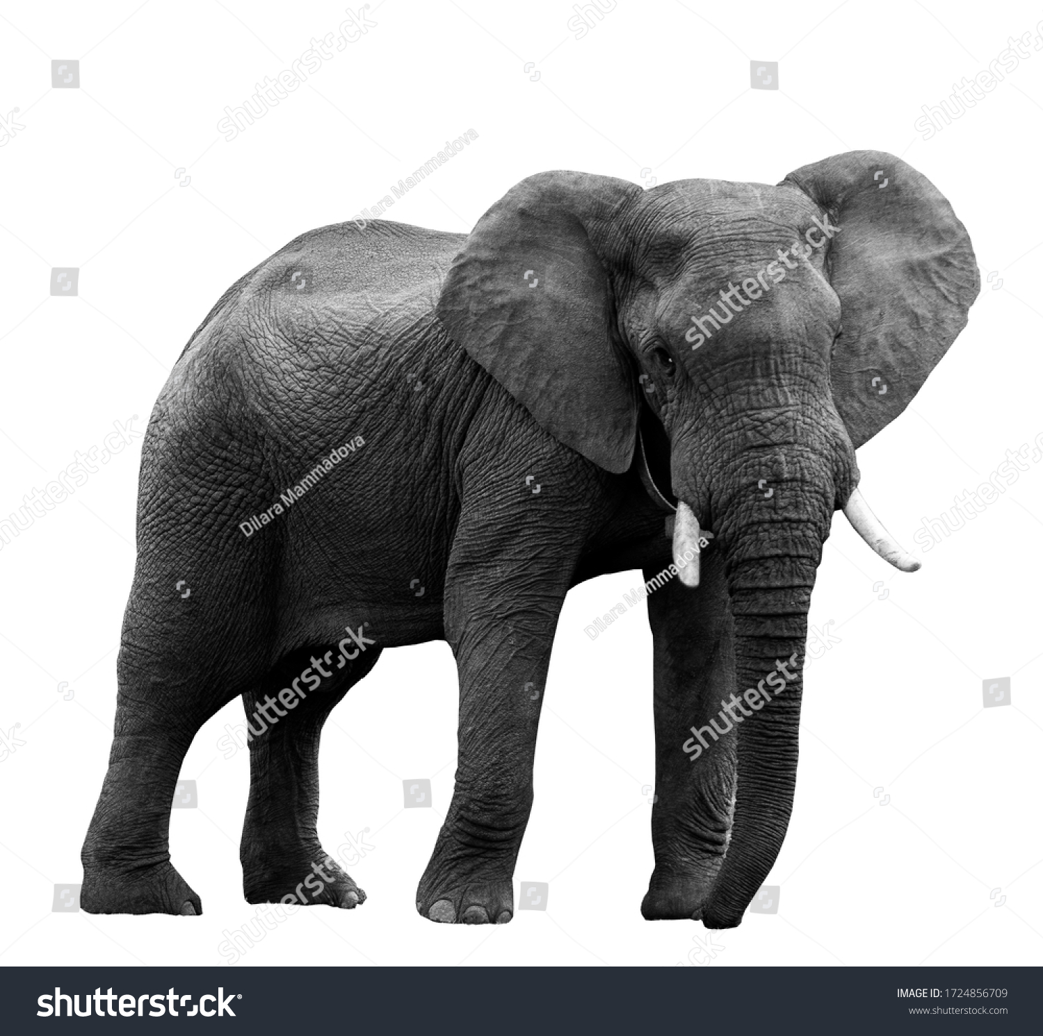 African elephant at the zoo, isolated on white background #1724856709