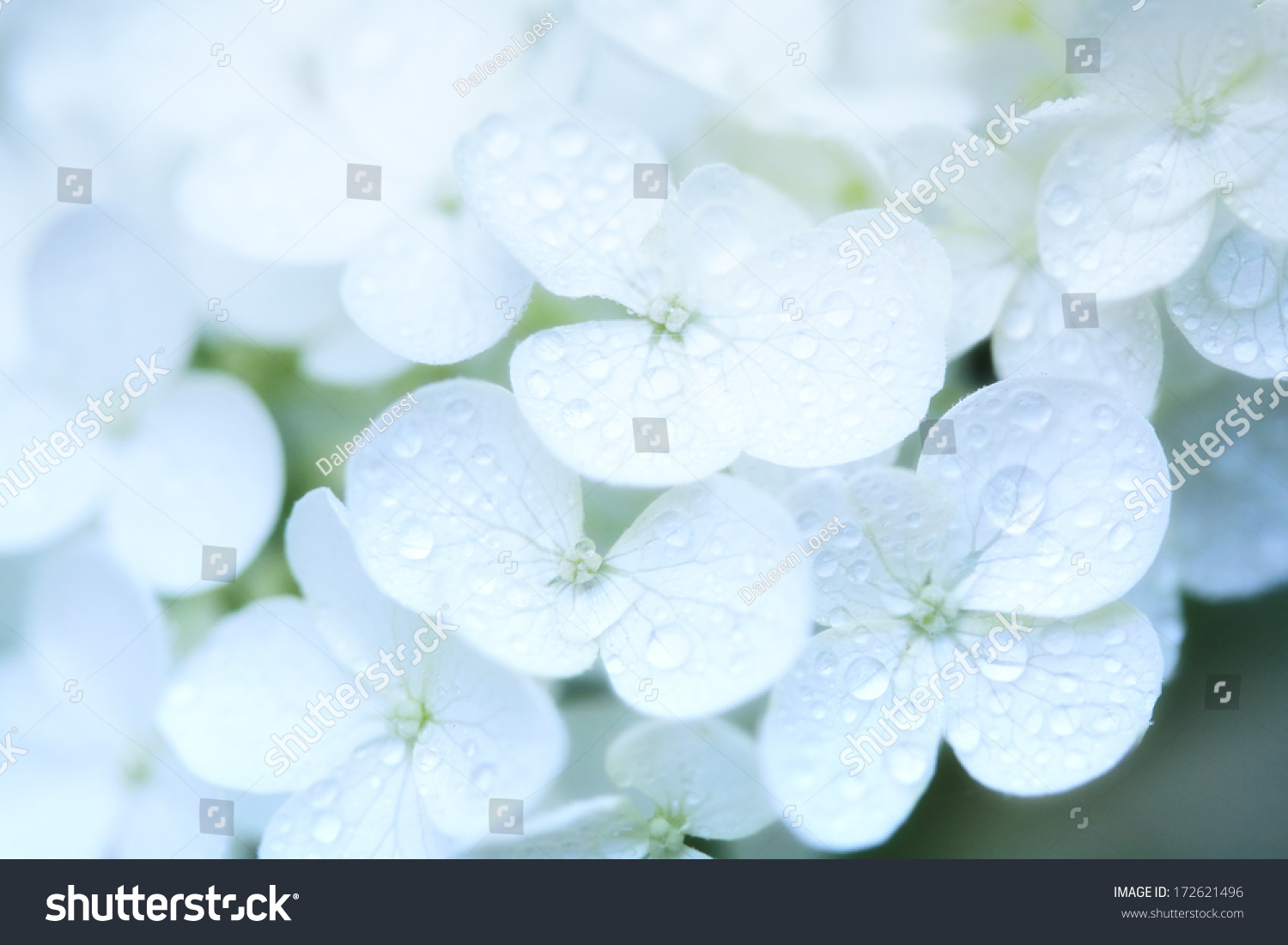 Closeup White Hydrangea Flowers Dew Drops Stock Photo Royalty Free