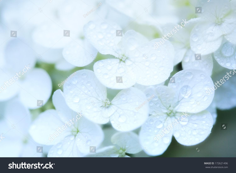 Closeup White Hydrangea Flowers Dew Drops Stock Photo Edit Now