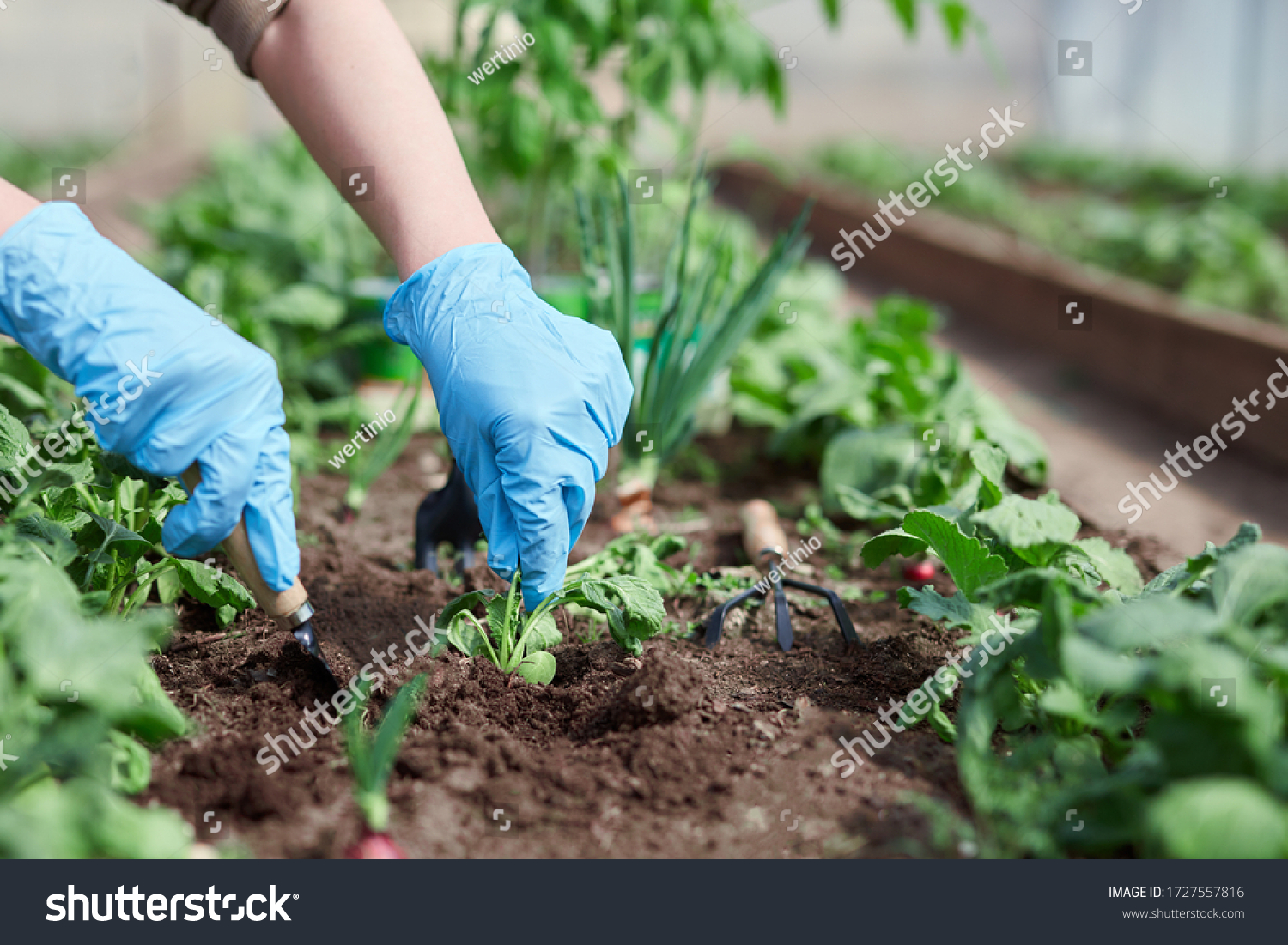 Gardeners hands planting and picking vegetable from backyard garden. Gardener in gloves prepares the soil for seedling.