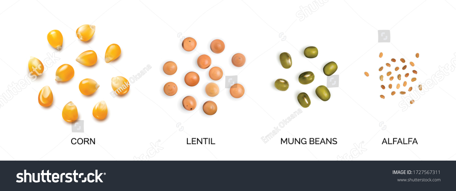 Vector realistic 3d illustration of legumes and corns collection isolated on white background. Edible seeds of lentils, mung beans, alfalfa, corn seeds, maize or sweetcorn kernels #1727567311