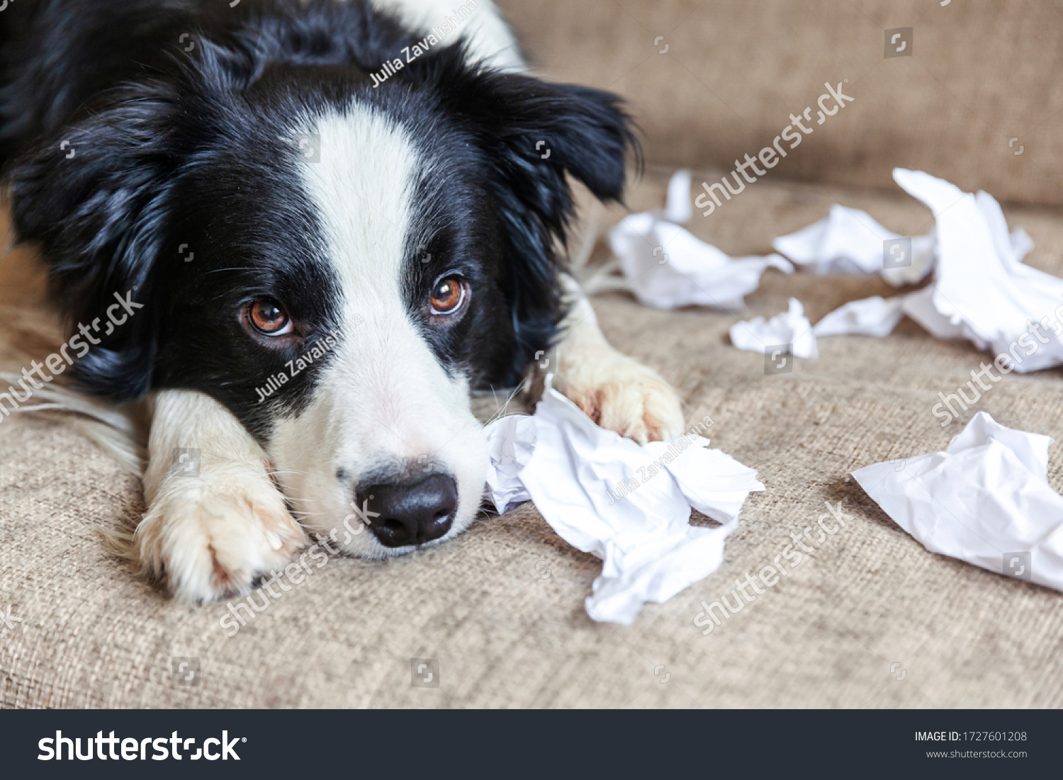 Naughty playful puppy dog border collie after mischief biting toilet paper lying on couch at home. Guilty dog and destroyed living room. Damage messy home and puppy with funny guilty look #1727601208
