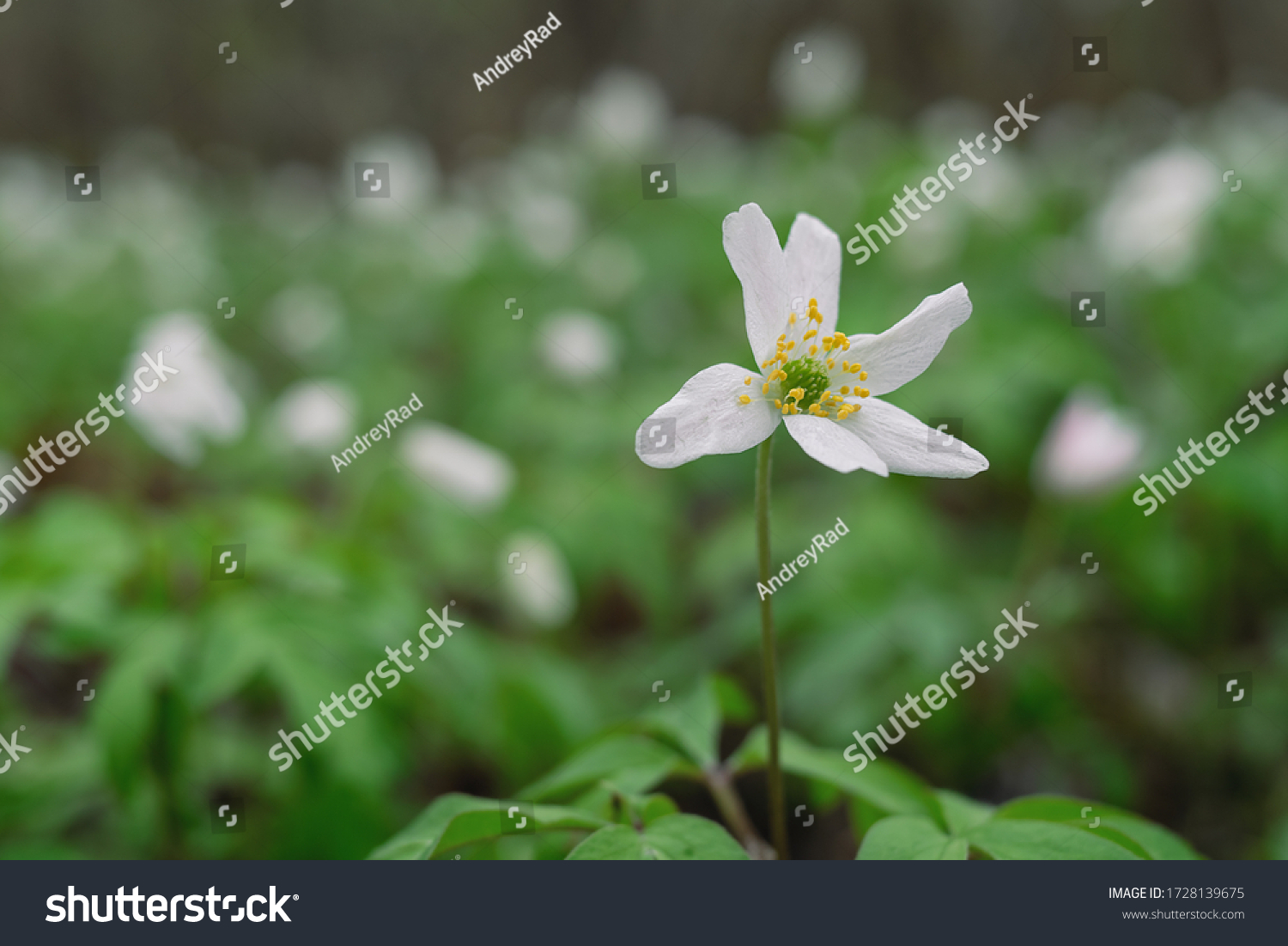 Field of snowdrops. White snowdrops. Snowdrop flowers grow in the forest. Snowdrops after rain. Flowers in the forest. Flowers after rain. Dew on flowers #1728139675