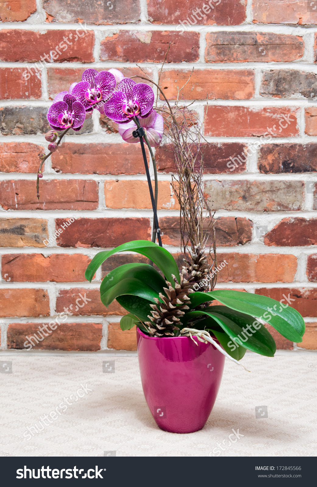 Phalaenopsis Orchids in front of brick wall