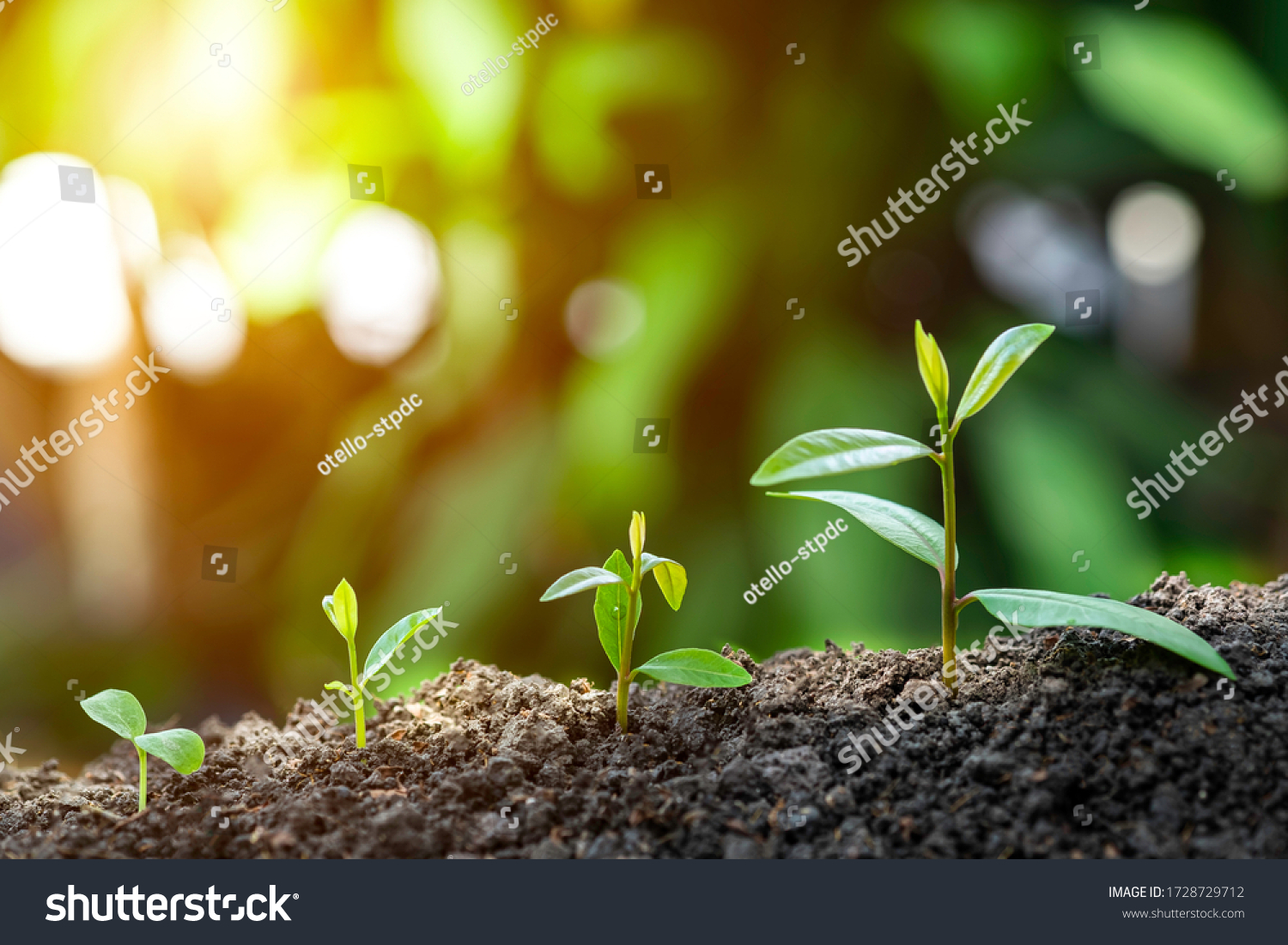 Agriculture and plant grow sequence with morning sunlight and dark green blur background. Germinating seedling grow step sprout growing from seed. Nature ecology and growth concept with copy space. #1728729712