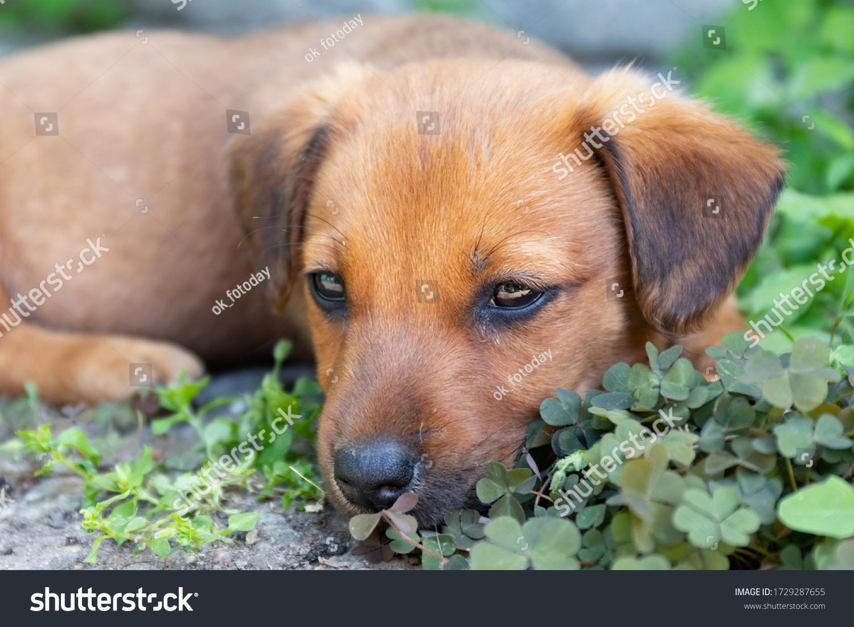 stock-photo-little-brown-puppy-lies-in-t