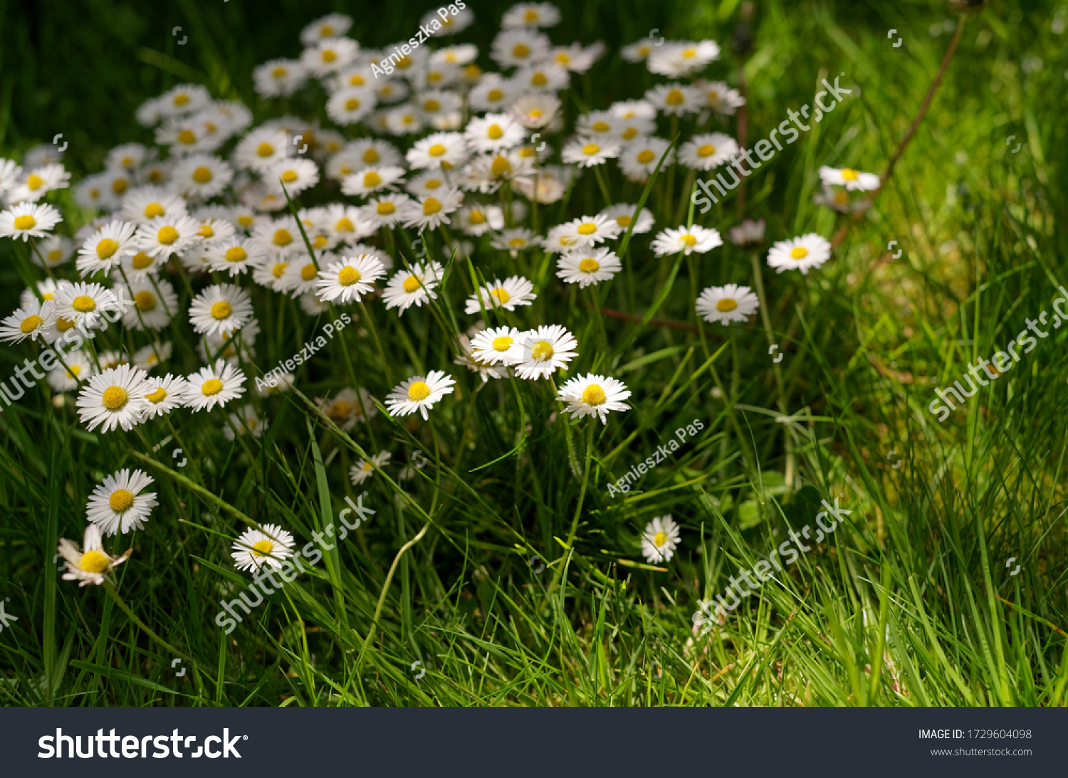 A group of white daisies (Bellis perennis) in the meadow. Irish wildflowers known as Common daisies, Oxeye daisies or Leucanthemum vulgare. Selective focus. Sunny day.