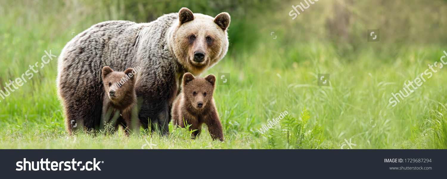 Brown bear, ursus arctos, mother with two cubs on green meadow with copy space. Wide panoramic banner of wild mammal with her lovely offsprings. Animal wildlife in summer nature. #1729687294