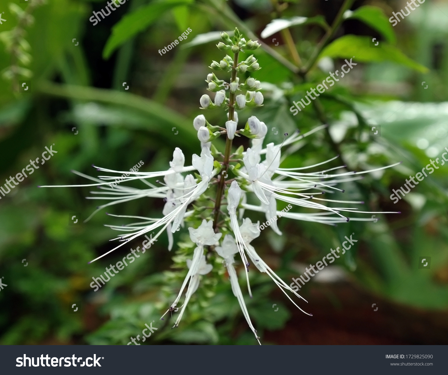 Orthosiphon aristatus or cat whiskers, including plants from the family Lamiaceae. This plant is one of the original Indonesian medicinal plants which is believed to be able to treat various diseases.