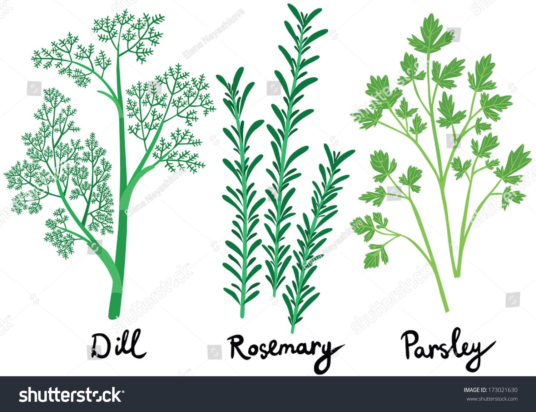 Fresh Herbs Set Names Calligraphy Dill Stock Vector 173021630 ...