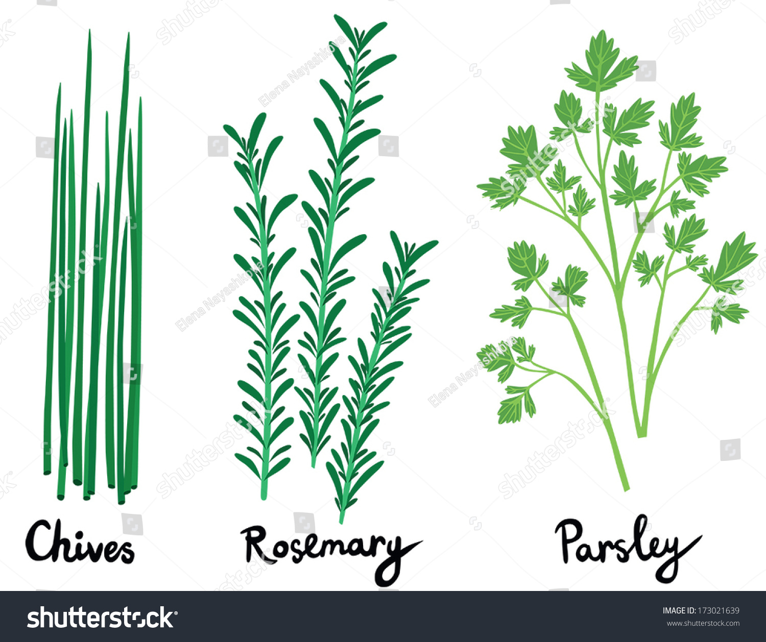 Fresh Herbs Set Names Calligraphy Chives Stock Vector 173021639 ...