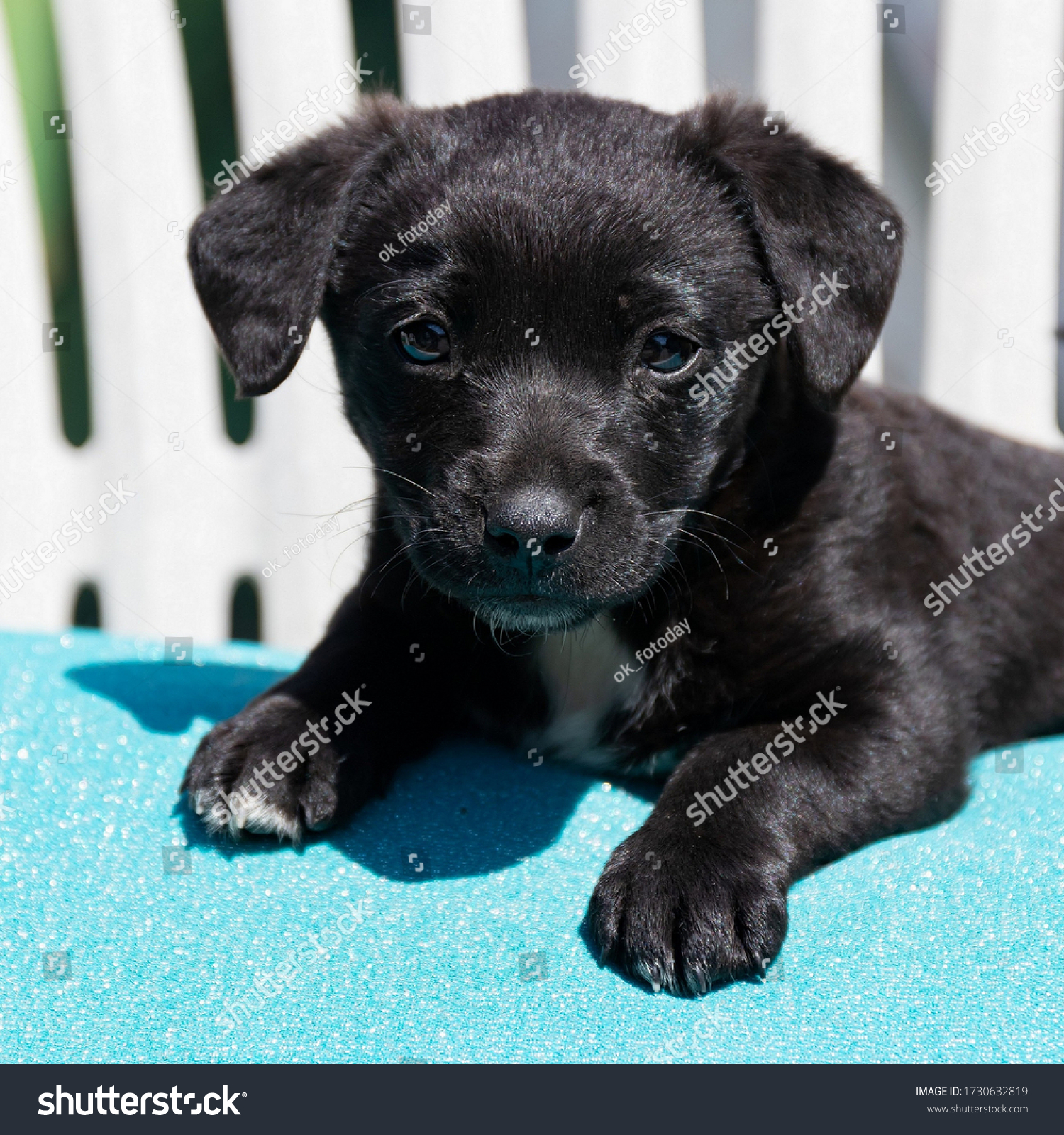 Little black puppy lies on a blue pillow on a sunny day