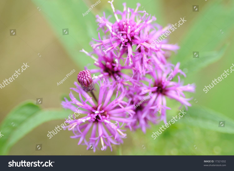 Tall Iron Weed Vernonia Altissima Ez Canvas