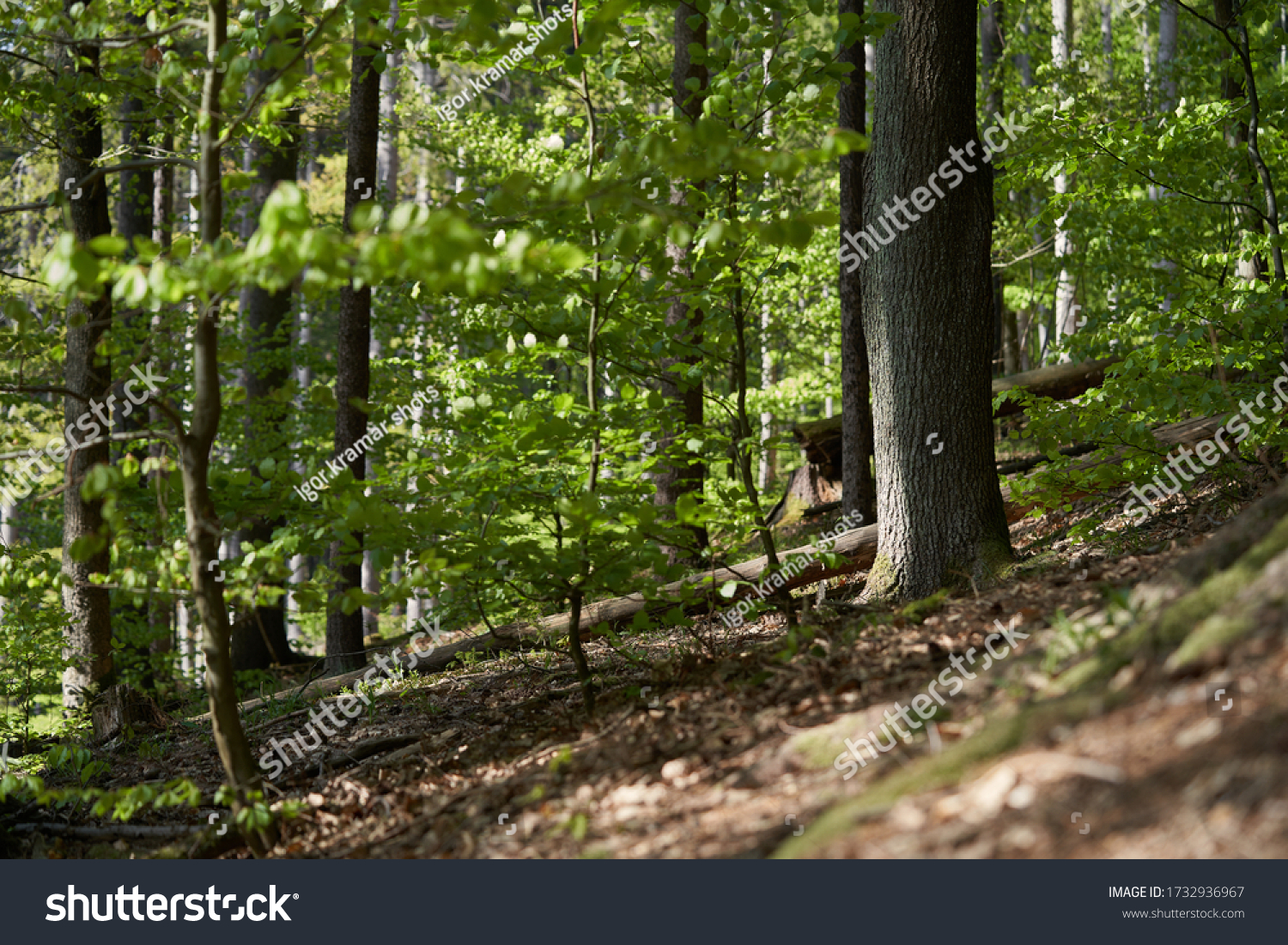 Scenic view of the green deciduous forest. Forest with beeches and oaks in the spring.