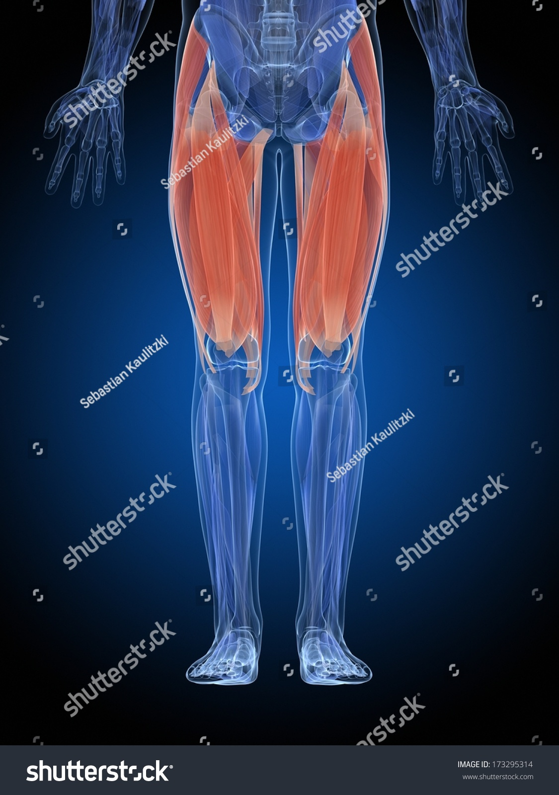 Royalty Free Stock Illustration Of Medical Illustration Upper Leg