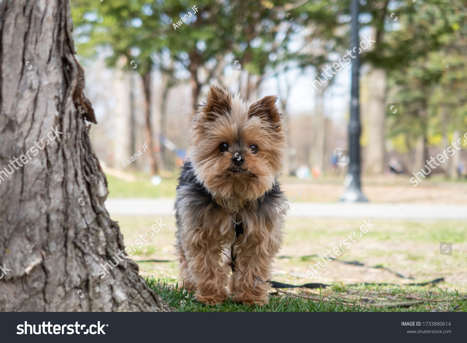 stock-photo-cute-little-yorkshire-terrie