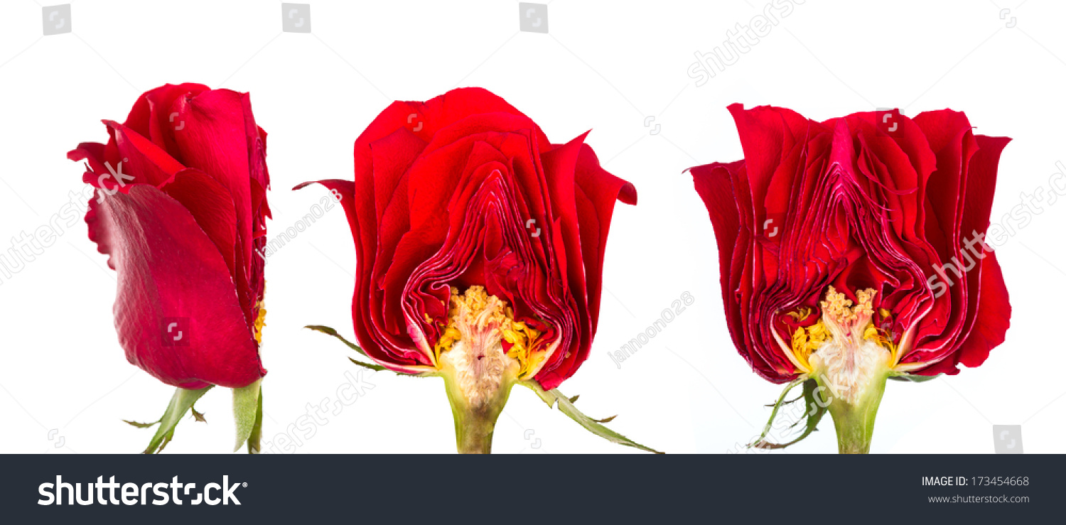 Cross Section Beautiful Red Rose Isolated Stock Photo Edit Now