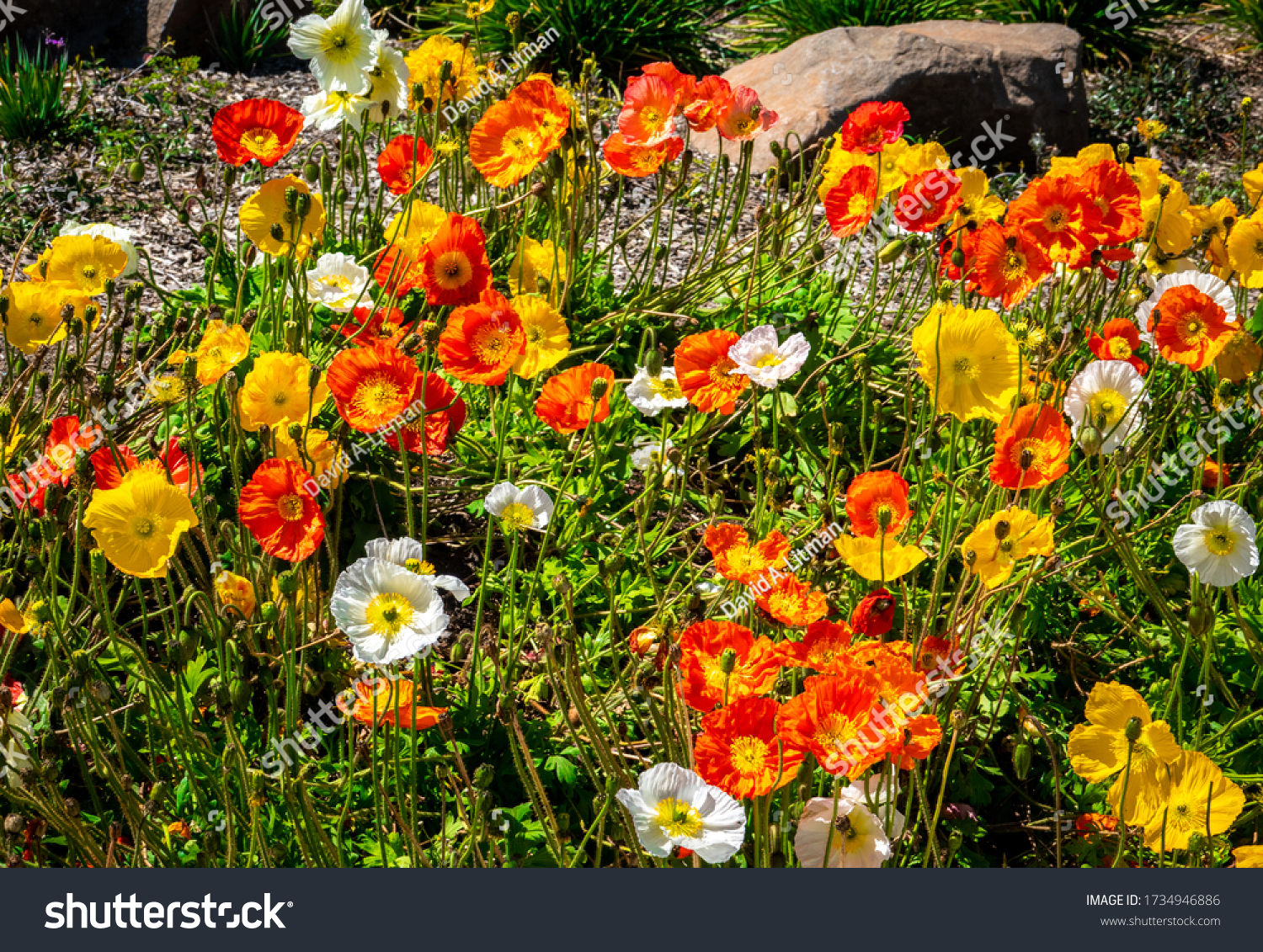 Colorful orange, yellow and white Icelandic (Iceland) poppies (Papaver nudicaule) bloom from late winter to early summer on the central coast of California.