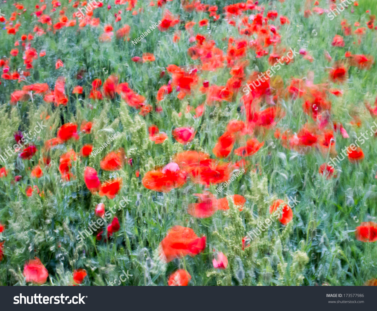 poppies in the wind - photo #11