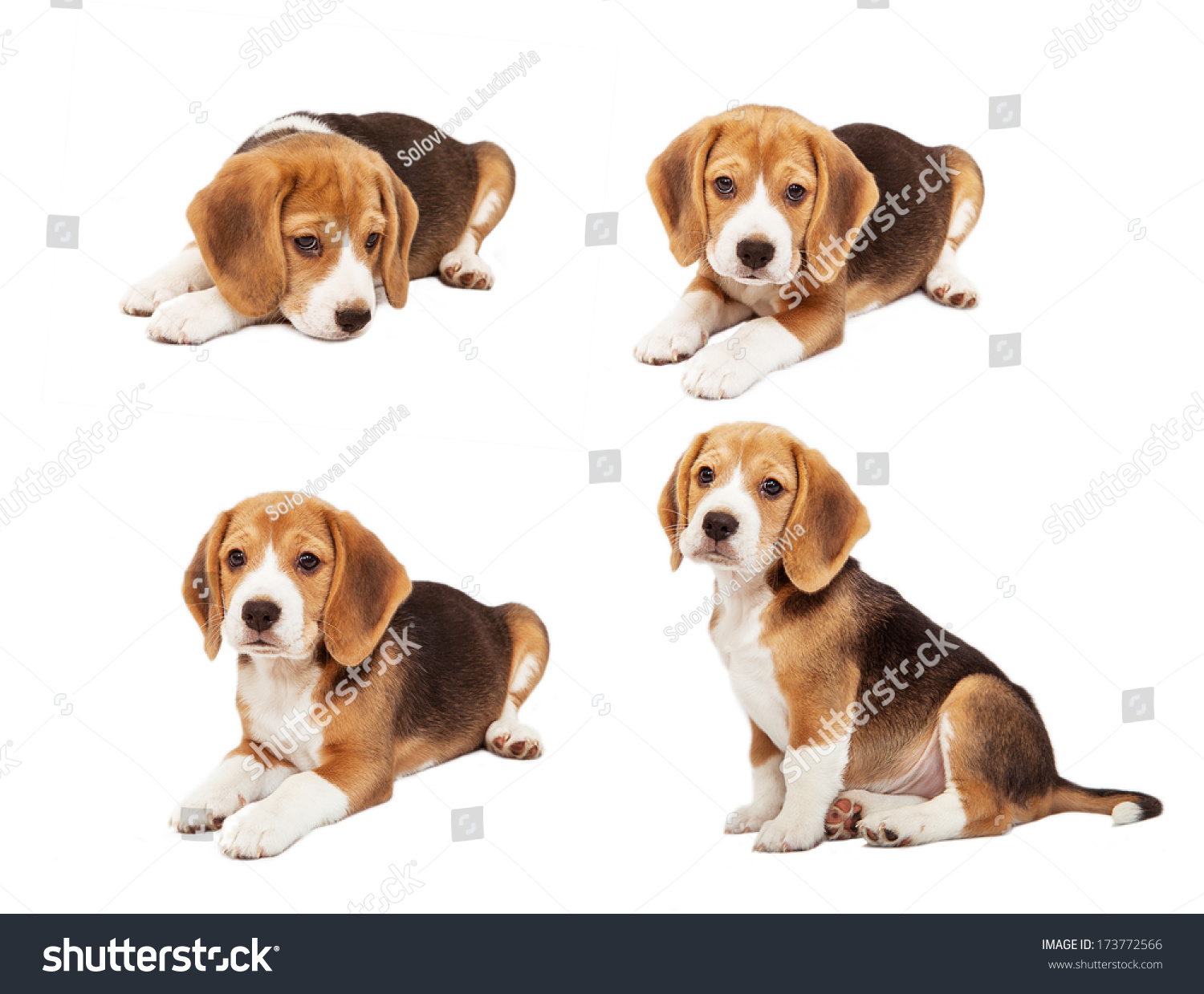 Cute beagle puppy diverse poses stock photo 173772566 shutterstock cute beagle puppy in diverse poses voltagebd Gallery