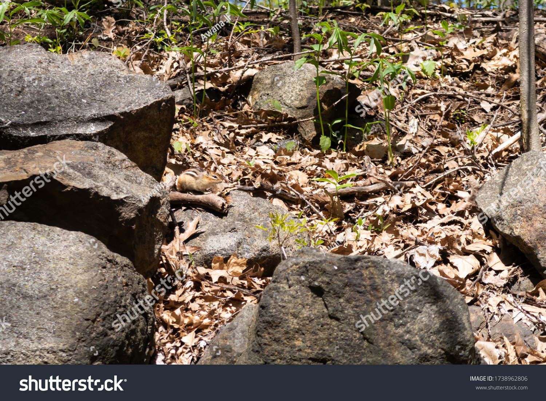 stock-photo-wild-tamias-in-mount-royal-p