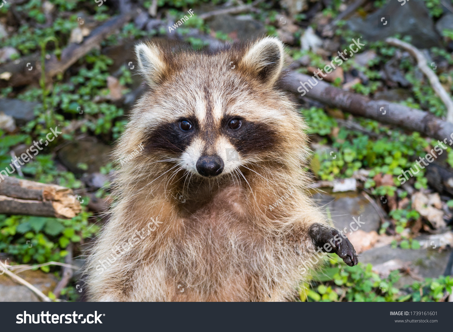 stock-photo-a-wild-raccoon-inside-the-fo