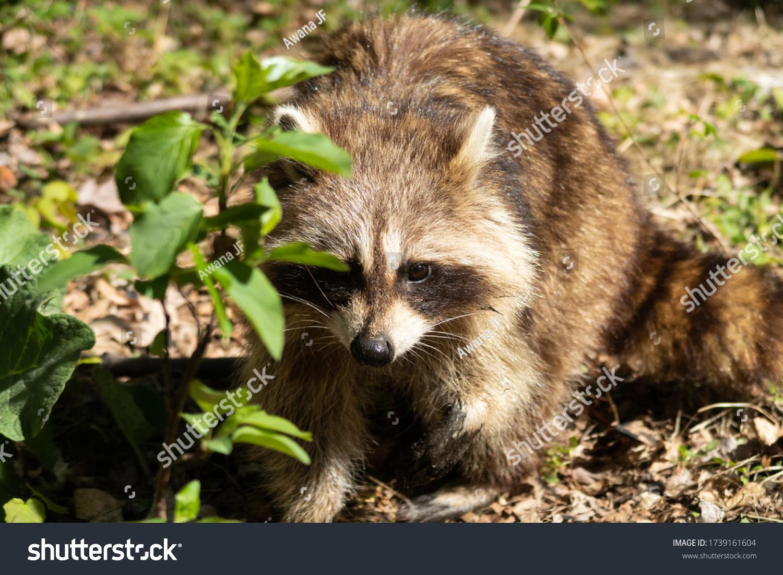 stock-photo-a-wild-raccoon-inside-the-fo