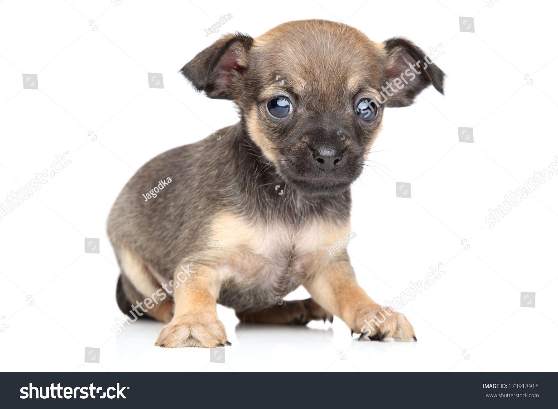 Enchanting Wire Fox Terrier Chihuahua Mix Photo - Wiring Diagram ...