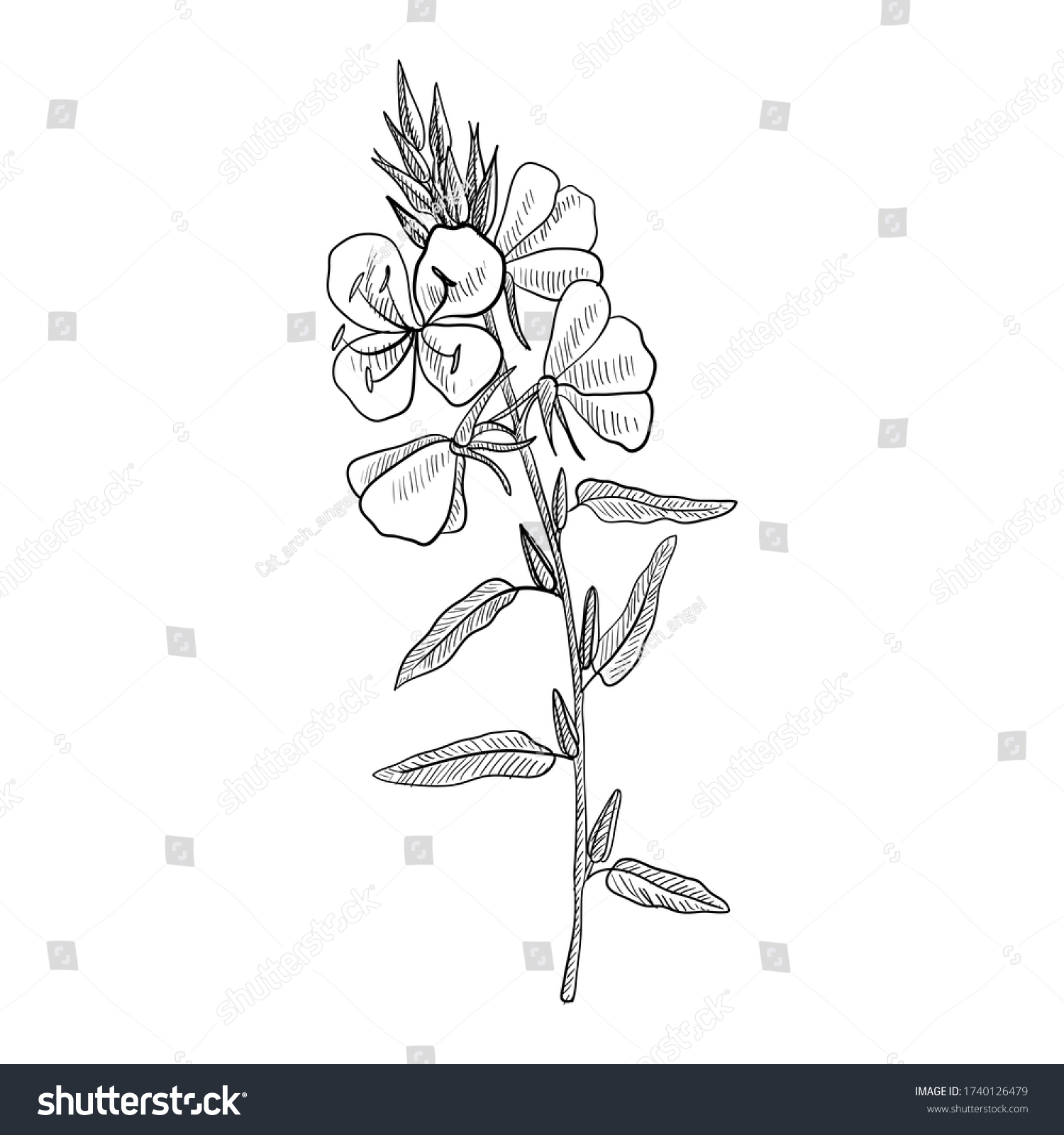 vector drawing evening primrose flower ,Oenothera , hand drawn illustration #1740126479