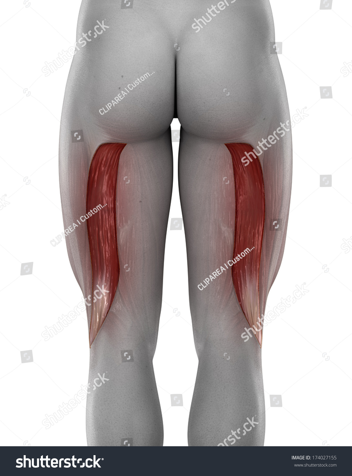 Male BICEPS FEMORIS Anatomy Posterior View Stock Illustration ...