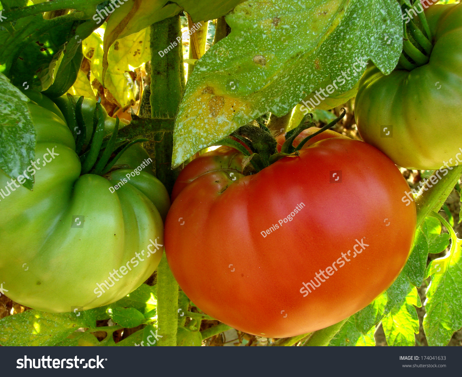 Pink home grown tomatoes sprayed with bordeaux mixture to protect against fungal infections - Bordeaux mixture ...