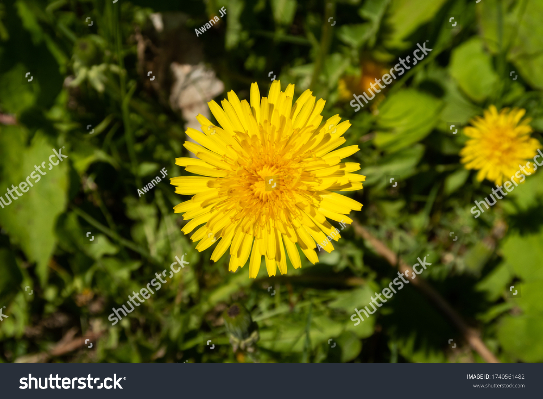 stock-photo-closeup-view-of-a-dandelion-