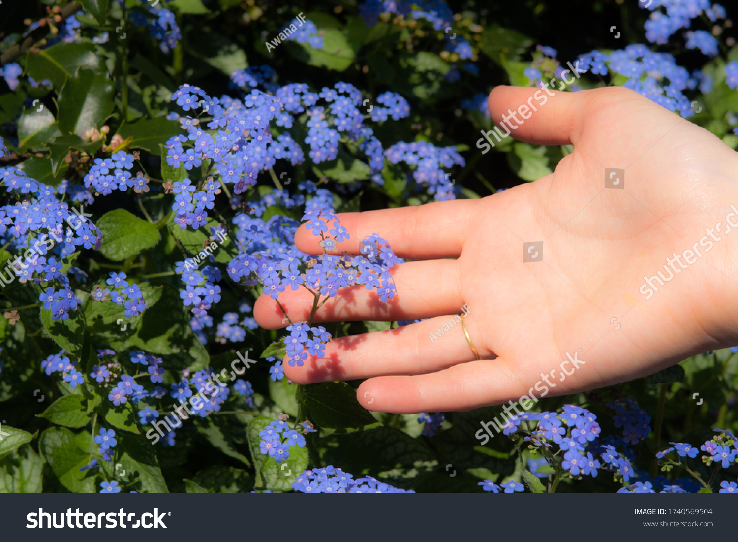 Closeup view of a hand palm and fingers reaching some myosotis flowers