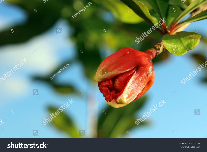 Blüte aus einem Granatapfelbaum