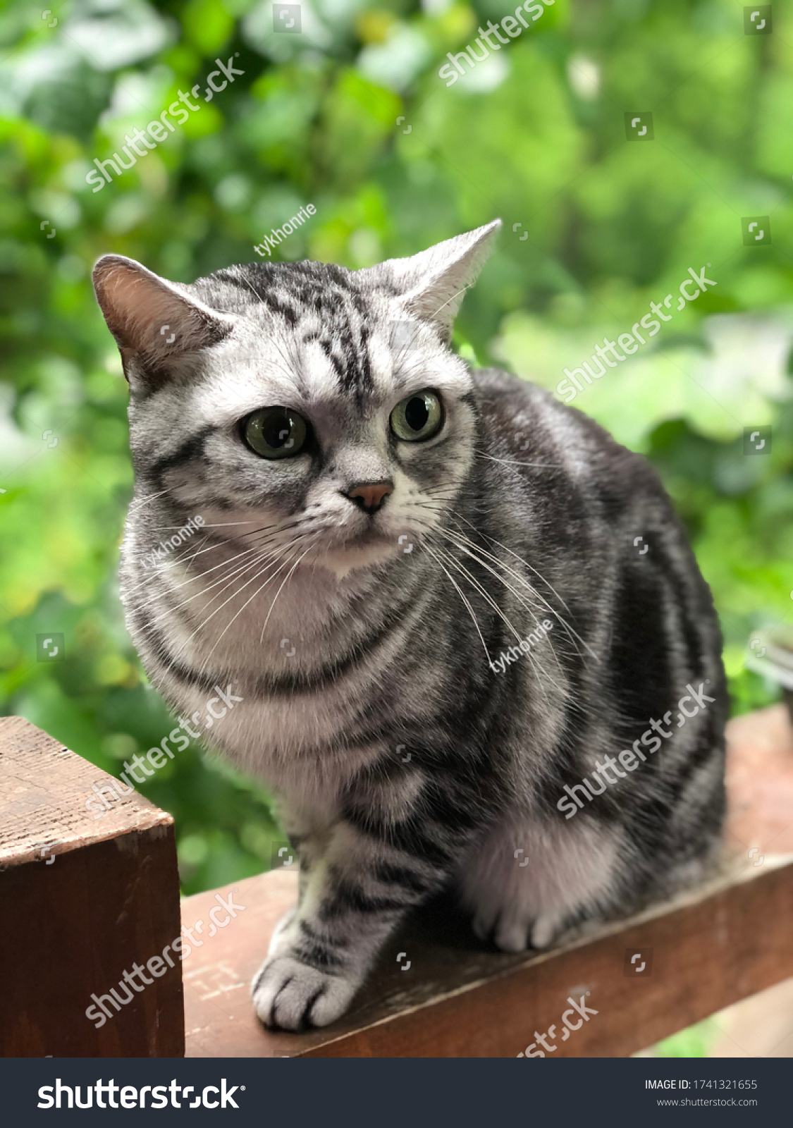 stock-photo-american-shorthair-cat-with-