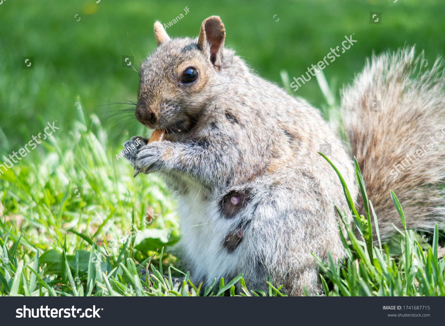 stock-photo-a-wild-eastern-gray-squirrel