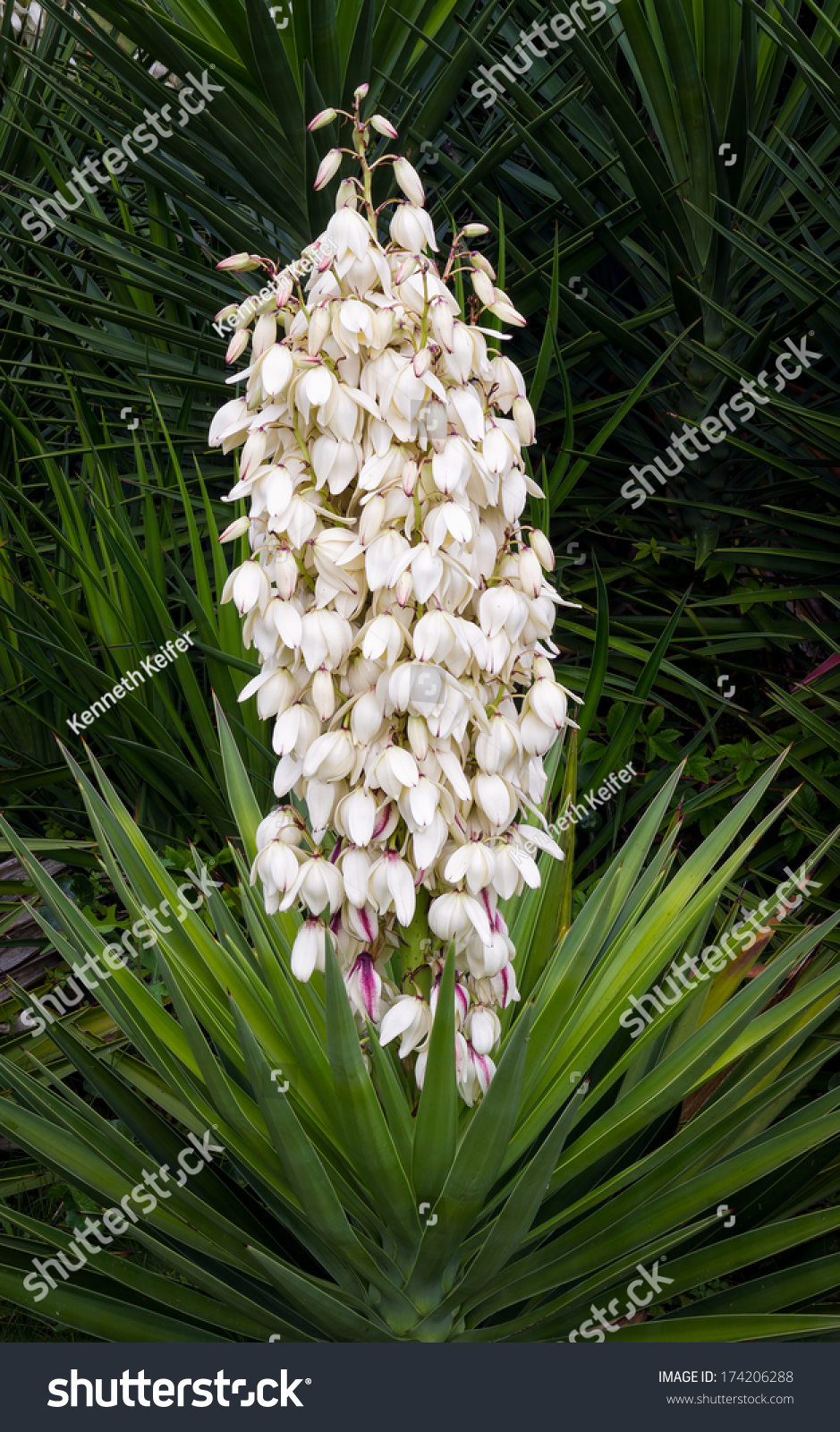 Beautiful Yucca Plant Displays Many White Stock Photo Edit Now