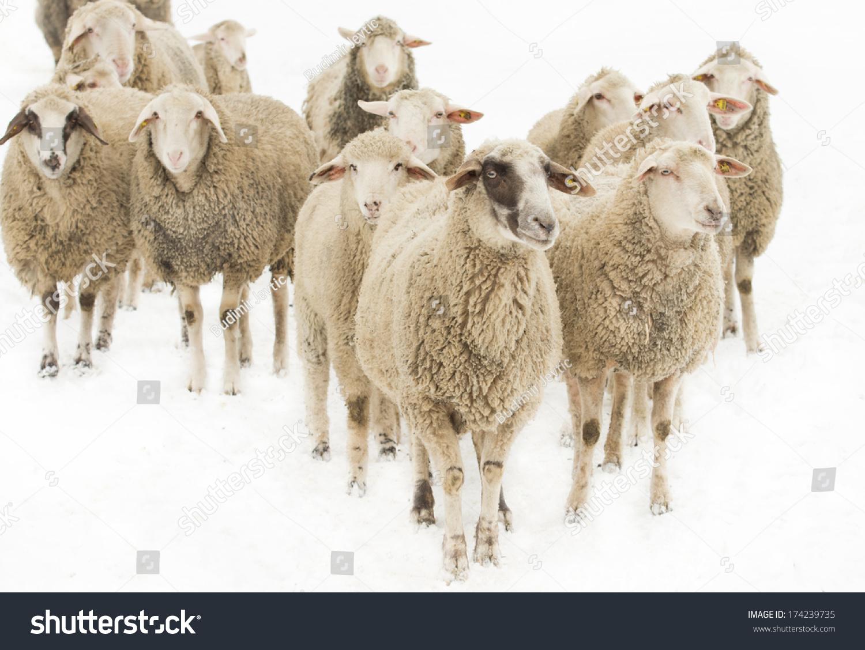 White sheep herd - photo#10