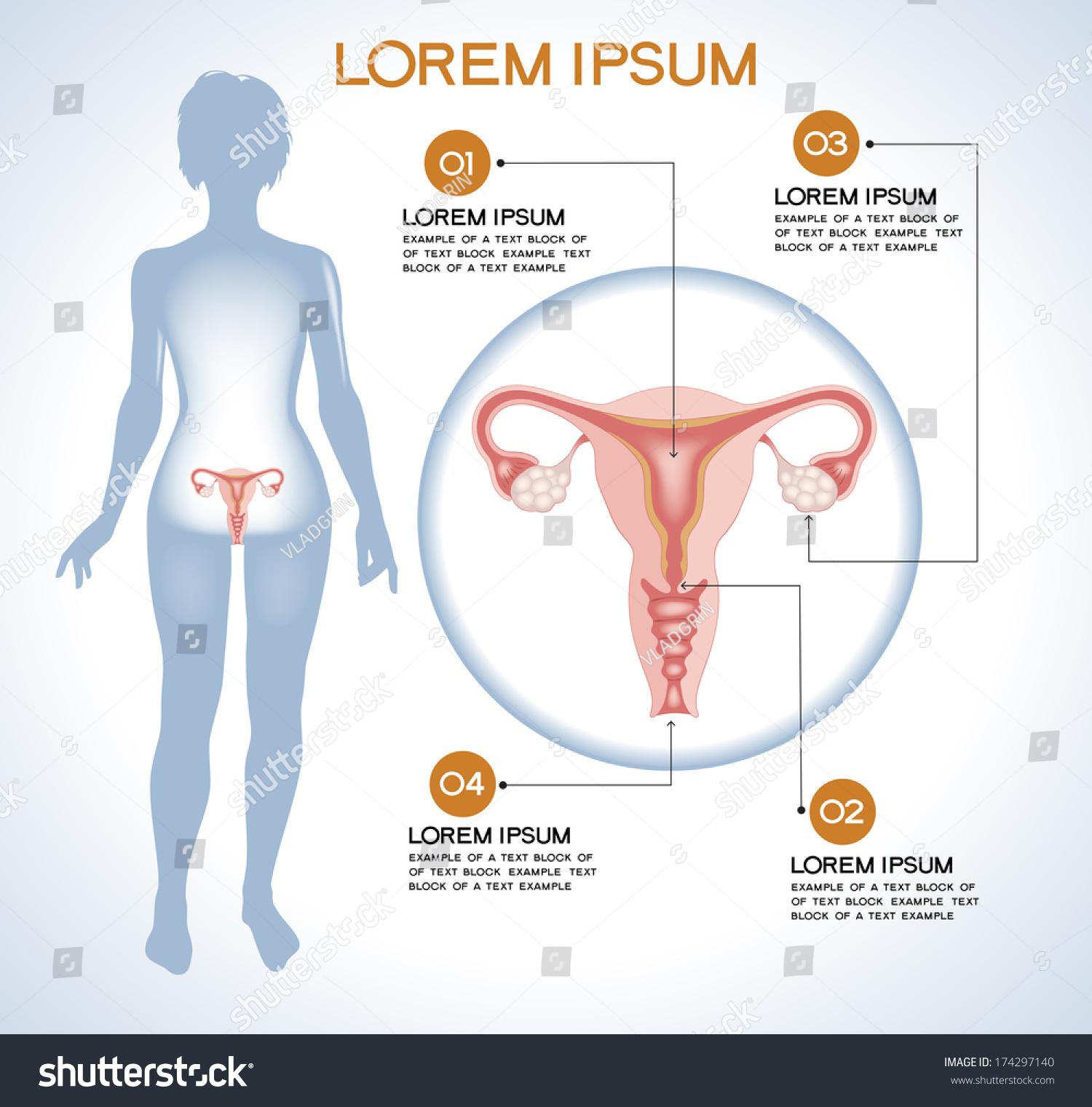 Ovaries Modern Medical Infographics Internal Organs Stock Vector ...