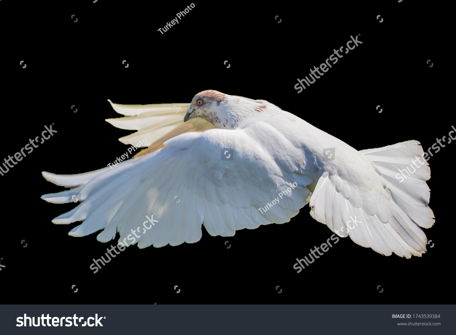 stock-photo-white-pigeon-flying-isolated